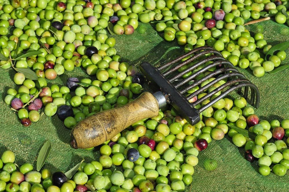 Previsiones sobre el aceite de oliva de nueva cosecha 2017