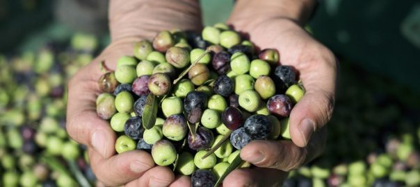Todo lo que quieres saber sobre el aceite de oliva arbequina