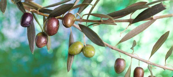 La oliva picual tiene una apetitosa transición de verde a negro