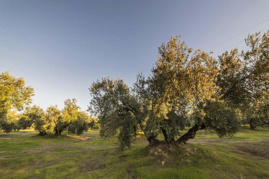 Un olivo picual en Andalucía