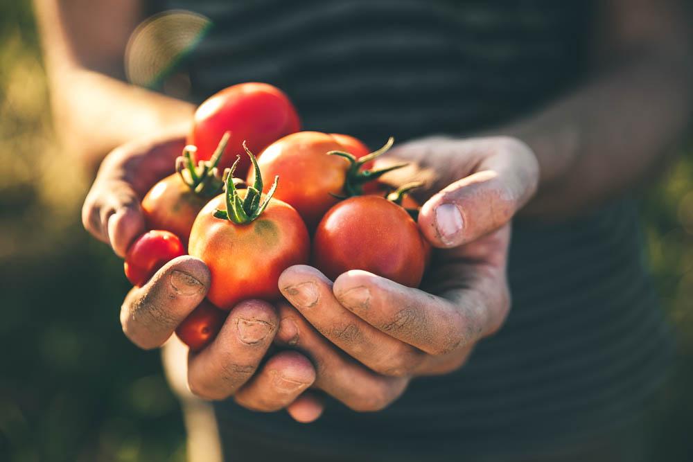 El AOVE mejora la absorción de nutrientes del tomate