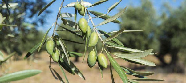 Todo lo que debes saber sobre el aceite de oliva cornicabra
