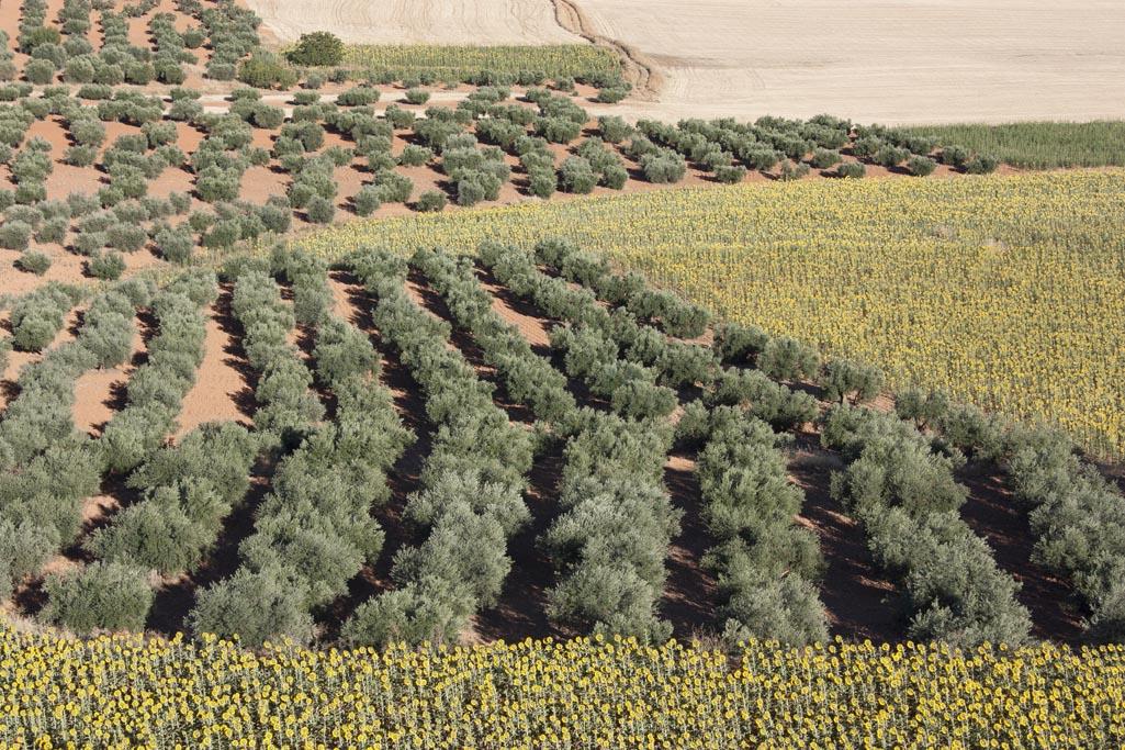 El aceite de oliva cornicabra proviene de olivos altamente resistentes